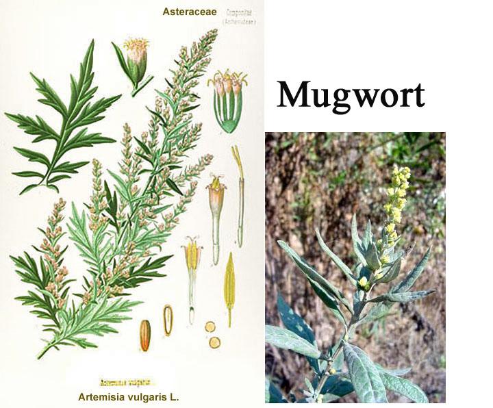mugwort, ai ye | healthy doses